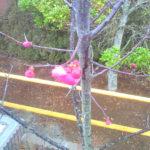 紅梅の開花