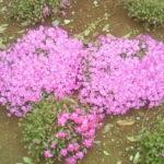 メモリアルフォレスト八千代の芝桜